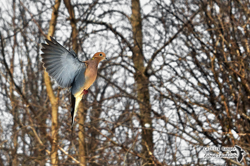 The Mourning Dove in-flight