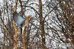 Title: The Mourning Dove in-flight Camera: Nikon D5100