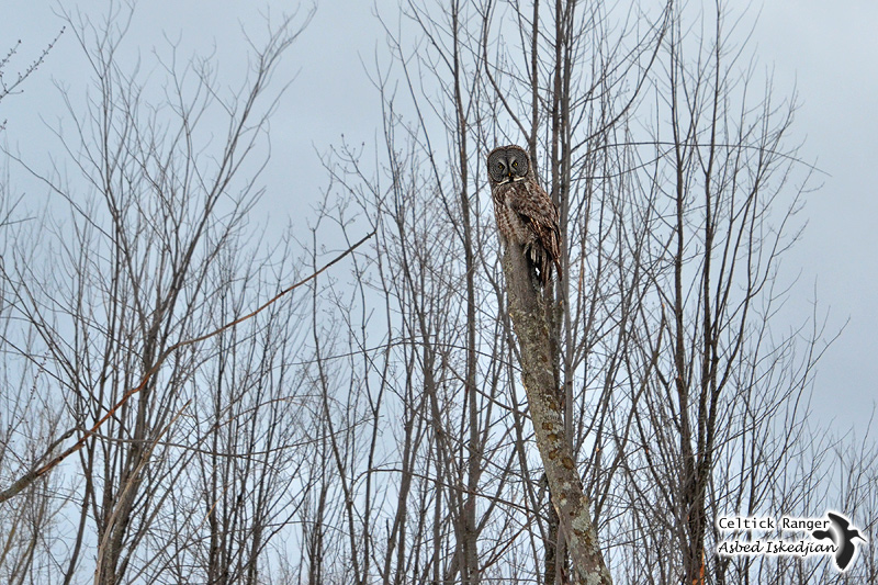 The camouflaged Great Gray Owl