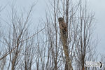 Title: The camouflaged Great Gray Owl