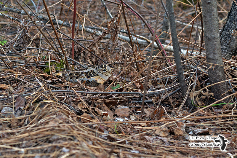 Woodcock's camouflage at her nest
