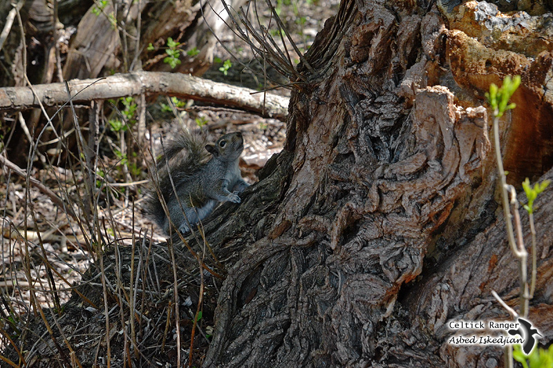 The camouflaged Eastern Grey Squirrel