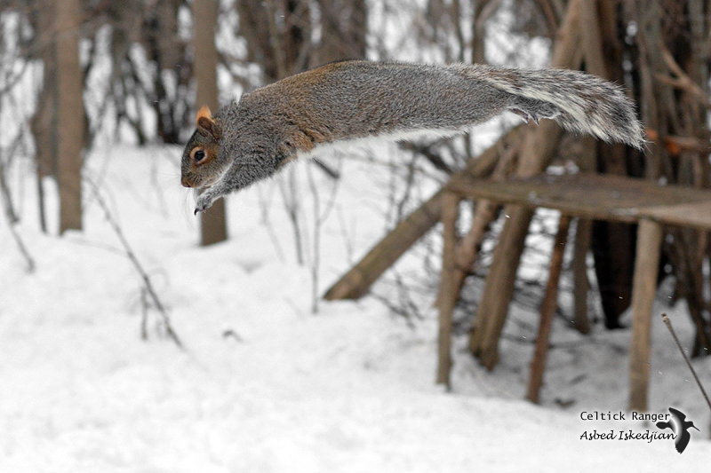 The grey squirrel in diving pose