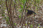 Title: Red-winged Blackbird take-off flight