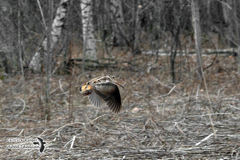The American Woodcock in-flight