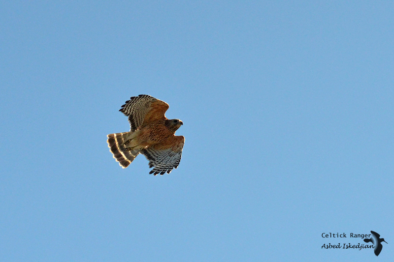The Red-shouldered Hawk in-flight