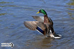 Title: Mallard Duck's open close wings