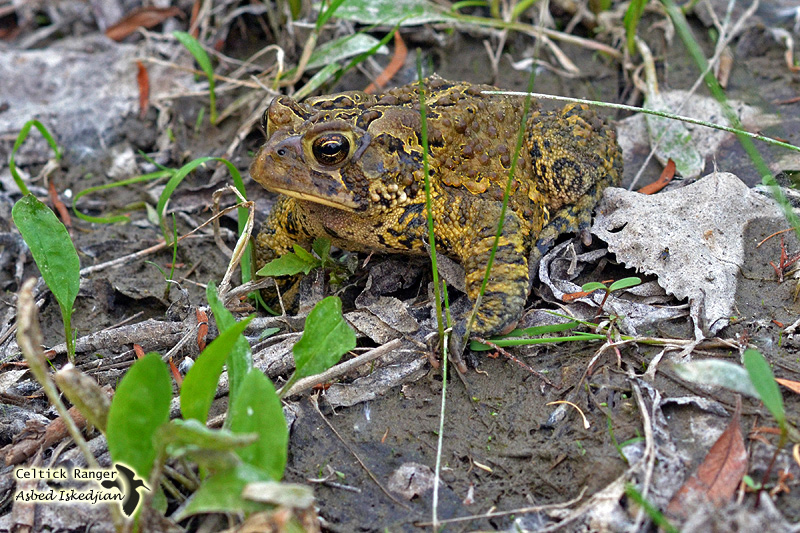 The American toad