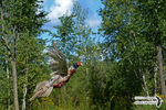 Title: Ring-necked Pheasant in take-off flight Camera: Nikon D5100