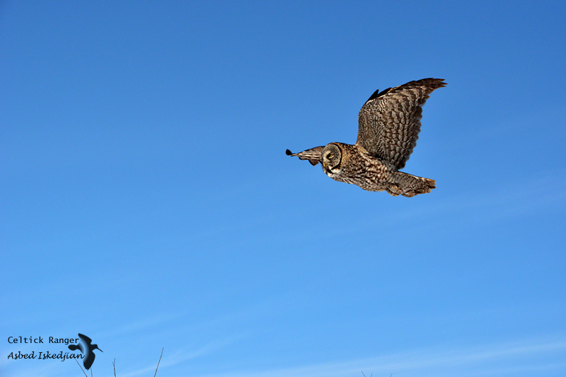 The Great Gray Owl in-flight