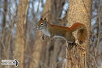 Title: The jumping American Red Squirrel