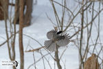 Title: The Black-capped Chickadee in-flight
