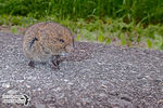 Title: Baby of the Meadow Vole