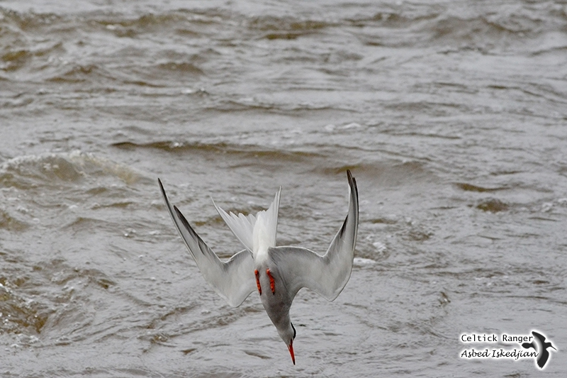 The Common Tern in fishing action