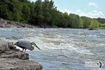 Title: The Great Blue Heron fishing in river