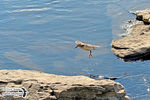 Title: The Spotted Sandpiper