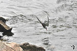 Title: Diving Fishing Common Tern