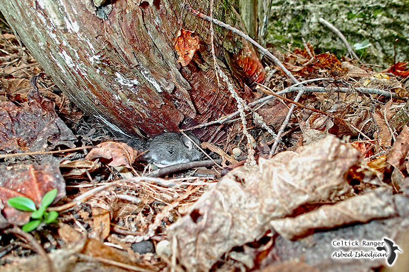 Peek A Boo baby wood mouse