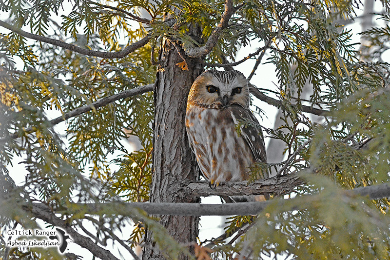 The elusive Northern Saw-whet Owl
