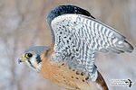 Title: The American Kestrel