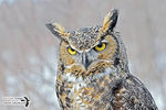 Title: The Great Horned Owl