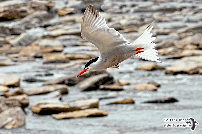 Fishing Common Tern