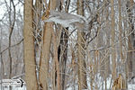 Title: The Gray Squirrel in-flight