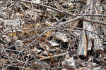 Title: 9 years on TN - Nesting Woodcock