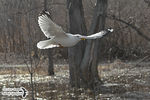 Title: The Ring-billed Gull in-flight
