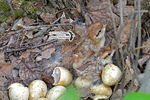 Title: Just hatched Ruffed Grouse chicks