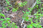 Ruffed Grouse incubating her chicks