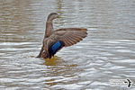 Title: American Black Duck