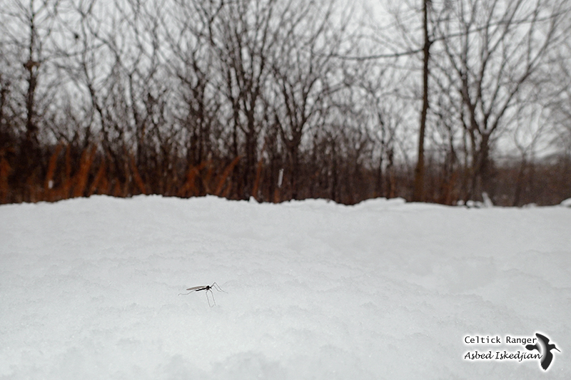 Mosquito on the snow