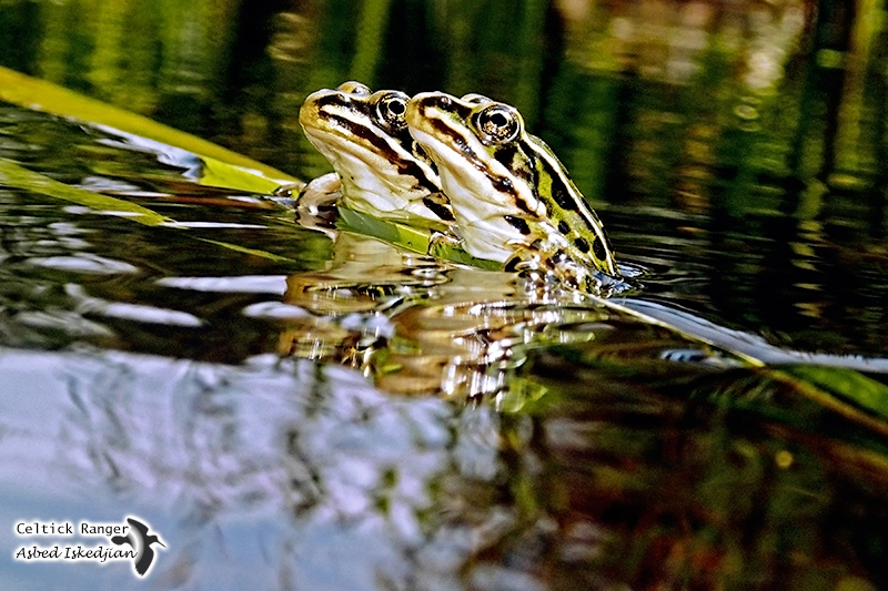 Romance amongst the frogs