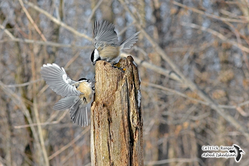 Wings, tails, and chickadees.