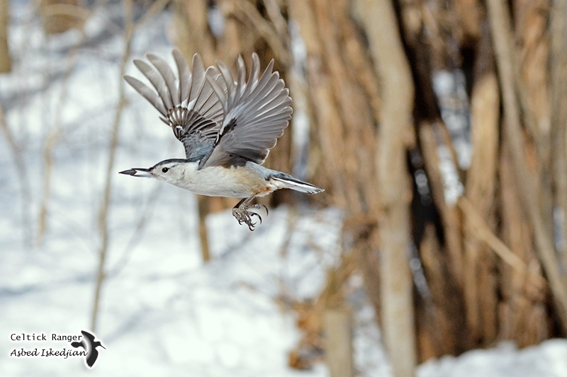 The White-breasted Nuthatch in-flight