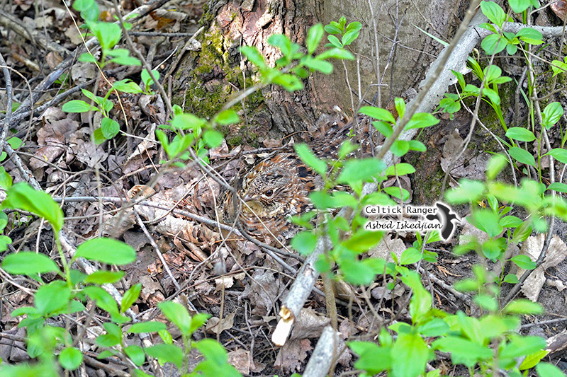 Happy Mothers Day with the Ruffed Grouse