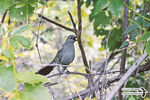 Title: The Gray Catbird meowing