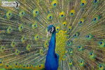 Title: The impressive peacock Camera: Olympus Tough TG-4