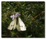 Title: ~Butterfly on Rosemary~