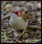 Title: ~Red-browed Firetail Finch~