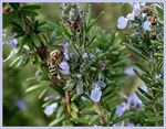 Title: ~Rosemary and the Bee~