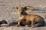 Title: Spotted Hyena with cubs