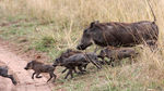 Title: Pumba and its offspring