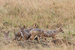 Title: Black-backed Jackal Puppies