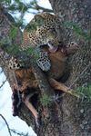 Title: Leopard with prey