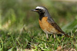 Title: Common Redstart male