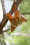 Title: Yellow-winged Bat