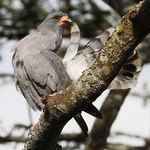 Title: Dark Chanting Goshawk