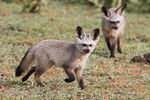 Title: Bat-eared Fox